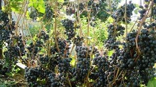 Виноград для Кузбасса, сорта которые мы выращиваем(В этом видео о том, какие сорта винограда надежные для выращивания в Кузбассе. Пробуем новый урожай. 00:08..., 2015-08-29T06:56:17.000Z)