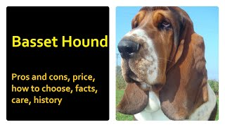 Basset Hound. Pros and Cons, Price, How to choose, Facts, Care, History