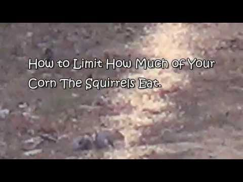 How To Limit How Much of Your Corn The Squirrels Eat.
