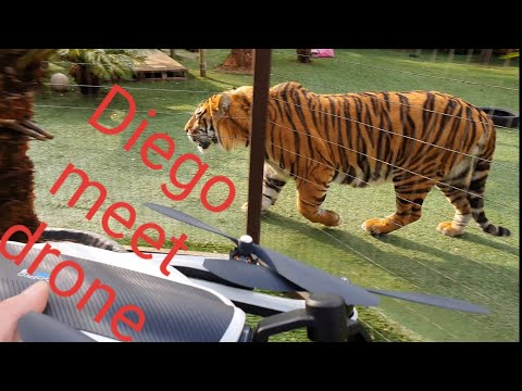 Getting a tiger to accept a drone !