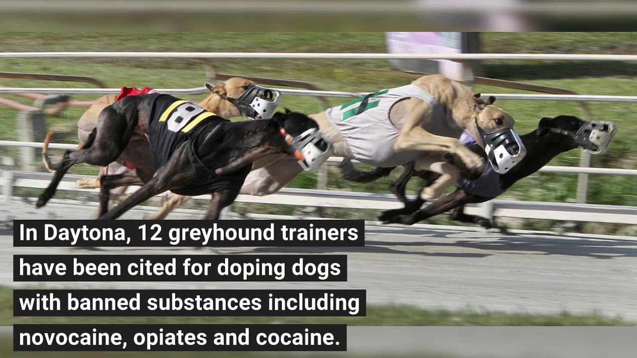Daytona Dog Track >> Report Drugs Pervade Sport Of Dog Racing News Daytona Beach