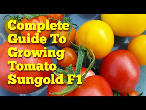 Complete Guide: Growing Sungold F1 Tomato; From Seed To Plate | The Movie