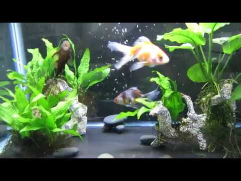 Goldfish With Live Plants? Yes It's Possible!