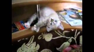 Смешные домашние кошки
