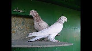 Андижанские (узкочубые) голуби (фильм Олега Иванова), узбекские голуби