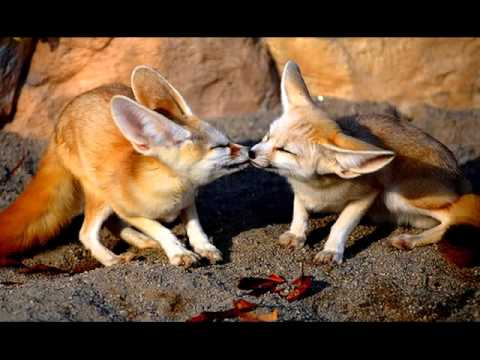 Fennec Fox Vulpes Zerda Youtube