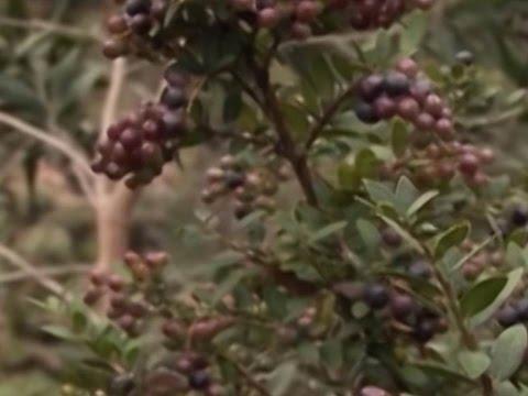 Cómo cultivar Mortiño y/o Agraz - TvAgro por Juan Gonzalo Angel