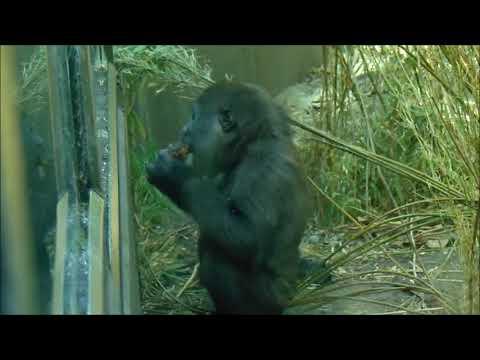 Gorilla-meisje Yanga In Artis.