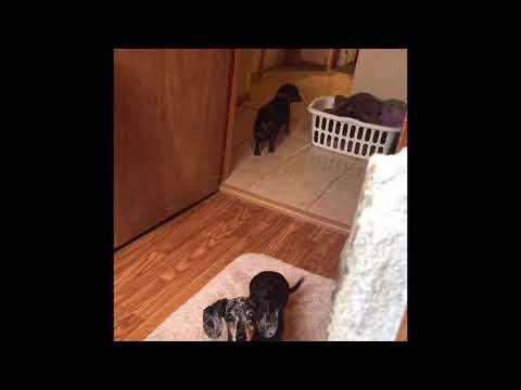 GUILTY DOG compilation - Oscar the guilty dog