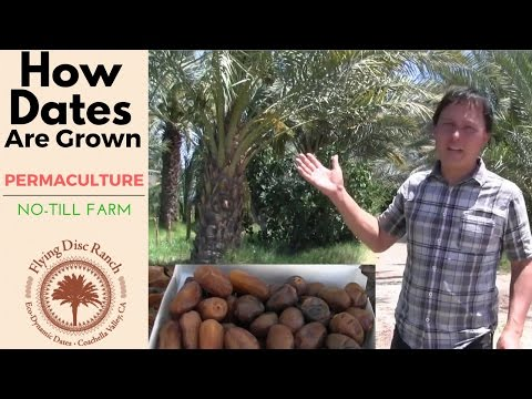 How Dates are Grown on a Permaculture No-Till Date Farm in t