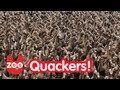 5000 Ducks Go For A Walk!