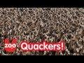 5000 Ducks Go For A Walk!