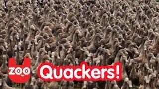 【いすぎる】夢に出そう…5000匹のアヒル大行進!