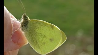 Small Miracle - Clouded Sulphur Moth