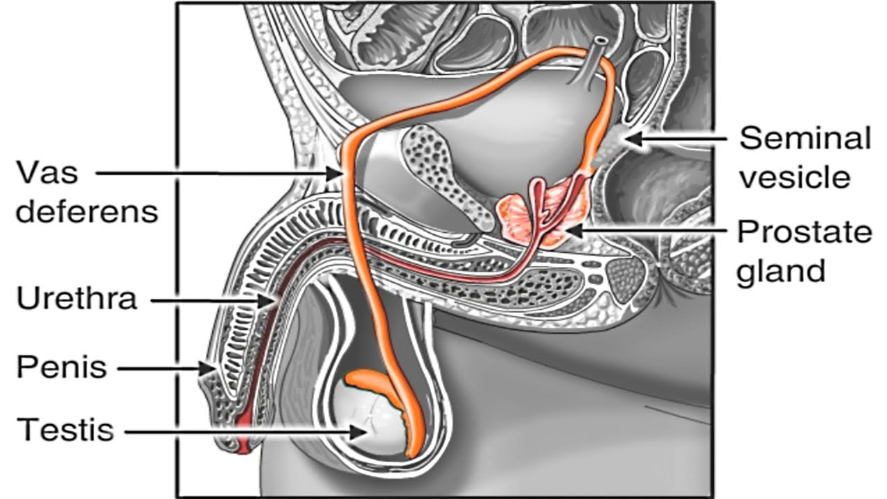 Grays Anatomy Penis Reproductive Organ