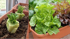 Stop Buying Lettuce, 12 Tips To Grow Your Own Endless Supply