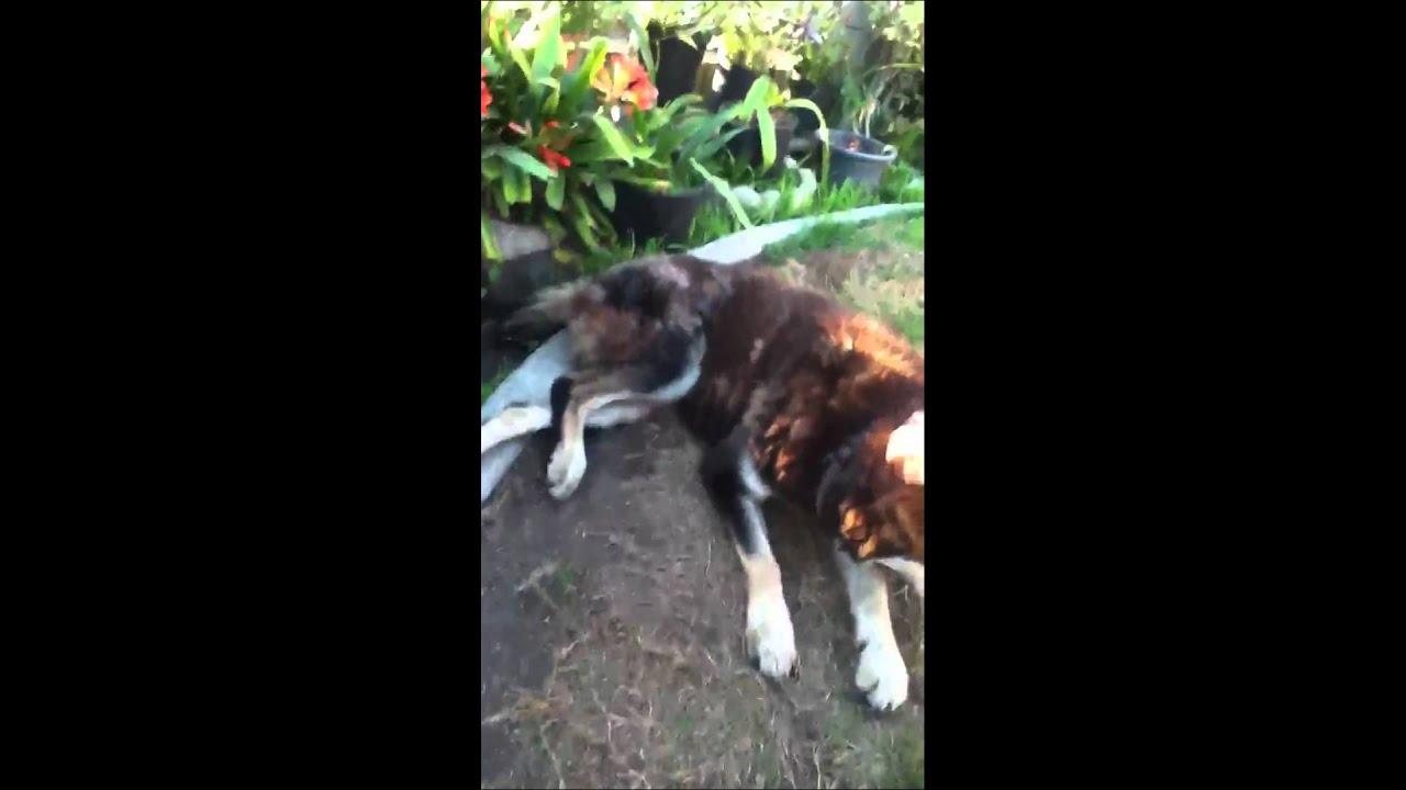 Dog shaking leg - YouTube