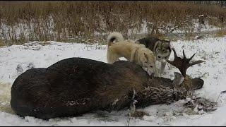 Охота #16 охота на лося(Загонная охота на лося, в этот раз на номере! В данном видео показаны действия происходящие на охоте, этот..., 2014-12-25T14:29:35.000Z)