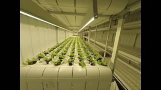 Рост салата в теплице CERERA