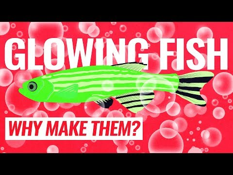 Why Would Anyone Want To Make Fish Glow?