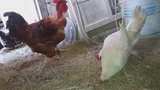 Петух топчет курицу /спаривание видео садки / испанка голошейка vs легорн / смотреть с 2:50