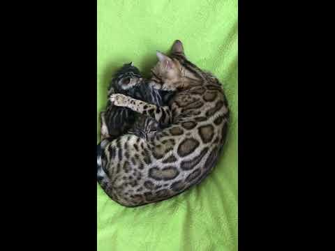 The life of a Bengal kitten from birth to the time of flight to a new home.