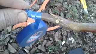 як зробити щеплення на дереві