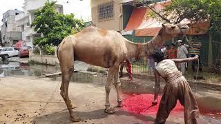 My Camel Qurbani on Eid-ul-adha 2019 | Today Dangerous Camel Qurbani 2019