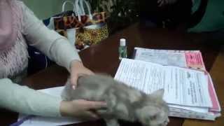 Порода кошек скоттиш фолд системы PCA
