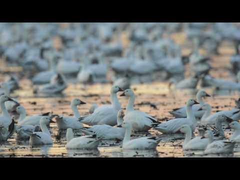 Through the Lens: Snow Goose Migration