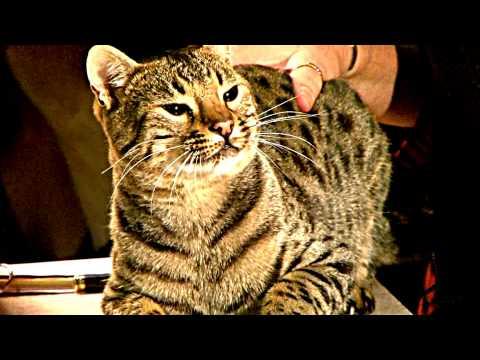c.a.t.s.-@-tica-cat-show