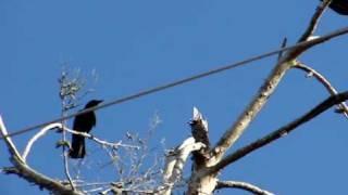 cuervo vs buitre