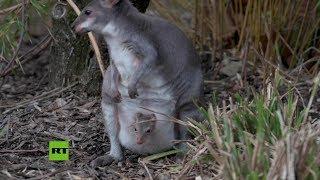 Nace el primer canguro pademelón en un zoológico de Reino Unido