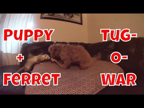 Puppy And Ferret Play Tug-O-War - Cute Animals Inside 2 - VOL. 26