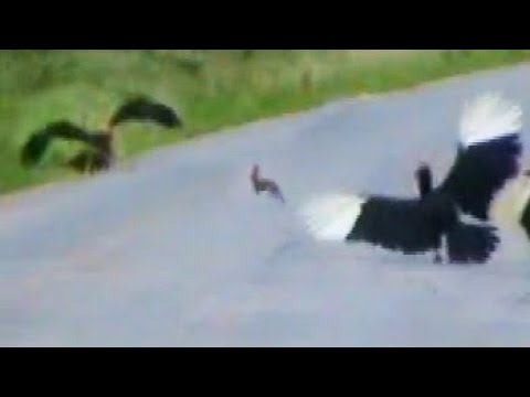 Thumbnail: Ground Hornbills Chase a Rabbit Then Eagle Catches It - Latest Wildlife Sightings