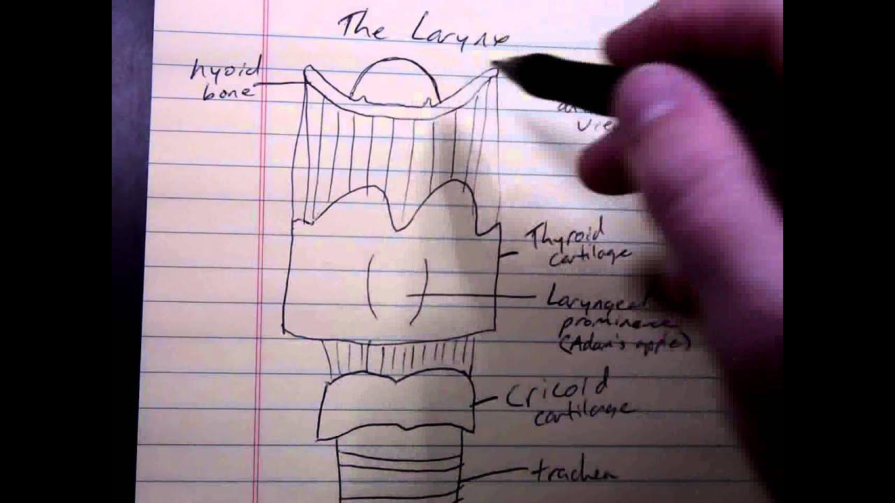 Basic Larynx Anatomy Youtube