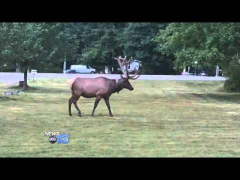 Elk Sighting Becoming More Common In Maggie Va