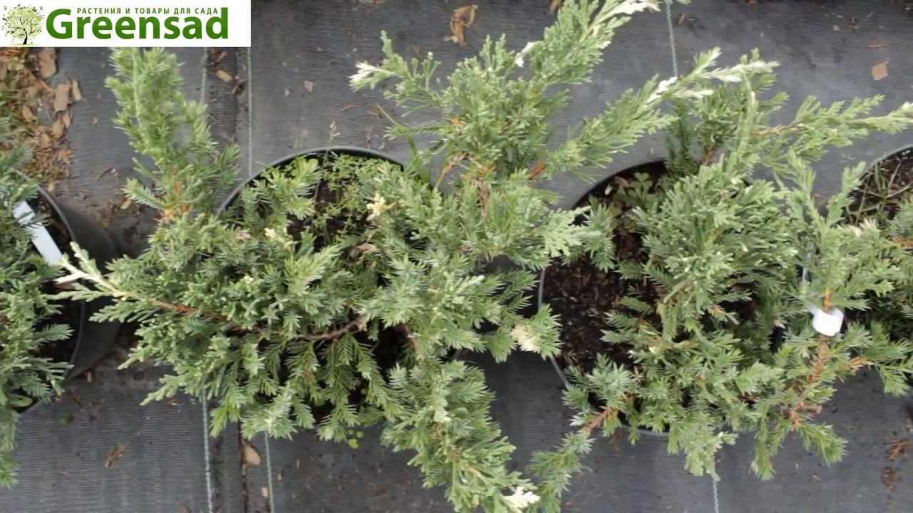 Можжевельник китайский (лат. Juniperus chinensis) — вид растений рода можжевельник. Можжевельник китайский. [править. 'stricta variegata'.