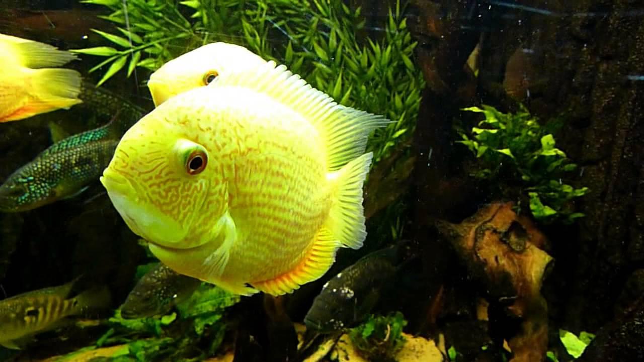 Fish aquarium red spots - Heros Efasciatus Red Spot Severum Tropical Fish Site