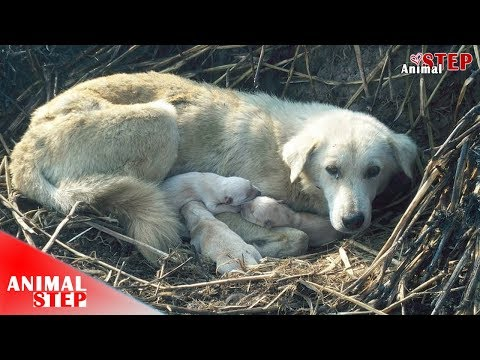 Stray Dog Mother Gave Birth in the Field Waiting for Days to Get Help