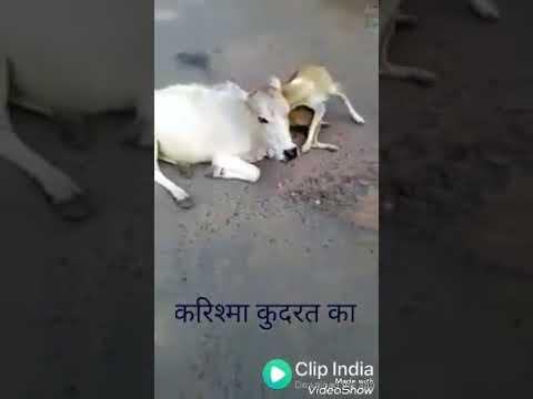 WhatsApp cow and dog HD video son Hindi MP3 DJ song