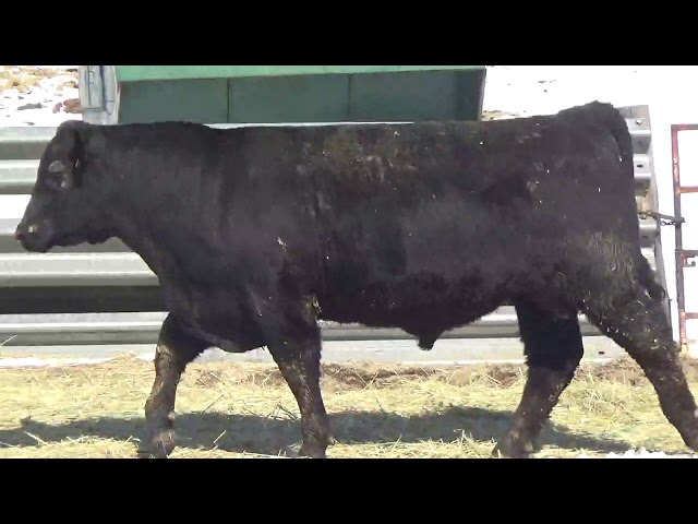 Connealy Angus Lot 427