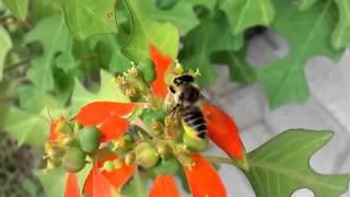 ショウジョウソウに訪れるバラハキリバチ Megachile nipponica visits Mexican fireplant