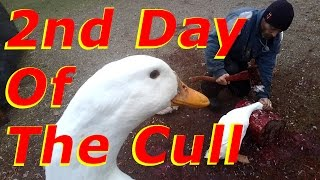 Duck Cull Slaughter Day 2 Stress Free Peaceful Exit For The Ducks #113 Raising Free Range Ducks