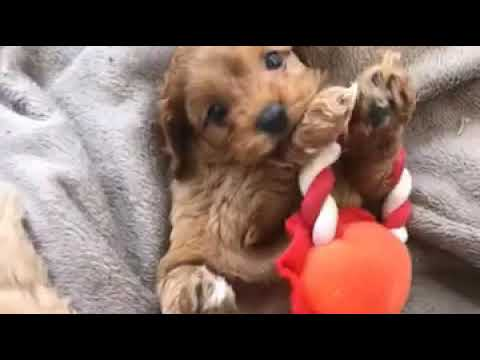6 week old Toy Cavoodle playing