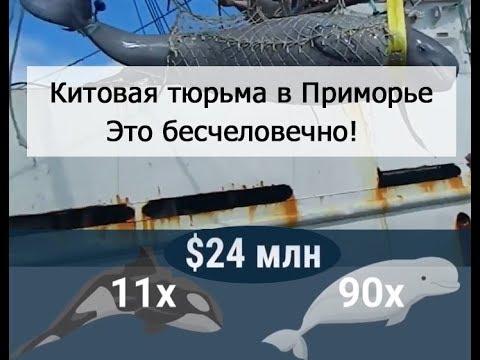Китовая тюрьма в приморье. Бесчеловечное обращение.  Подпишите петицию. //Whale prison Russia drone.