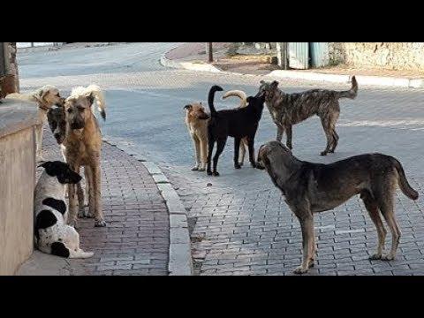 Çiftleşen Köpeklerin Aşk, İhanet, Entrika, Aldatma, Şehvet ve Şiddet Dolu Videosu :)