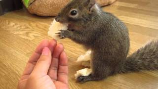 パンの味を食べ比べるリス - Squirrel Who Enjoy Tasting Breads thumbnail