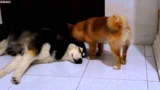 Video Hachi Casey Nov 2014 Husky Pom