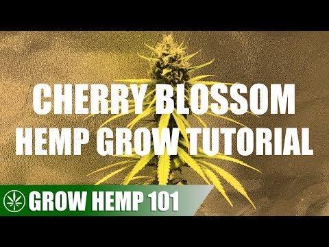 Indoor Cherry Blossom Medicinal Hemp Grow